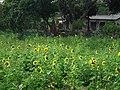 Sunflowers in Qiaotou Sugar Refinery 橋頭糖廠向日葵 - panoramio.jpg