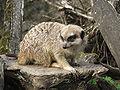Suricata suricatta 2 (Piotr Kuczynski).jpg