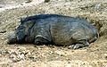 Sus scrofa Wild Boar at IGZoopark Visakhapatnam (1).JPG