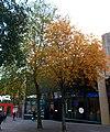 Sutton High Street trees (12).jpg