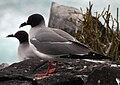 Swallow-tail Gulls (Creagrus furcatus) -Espanola -Punta Suarez2.jpg