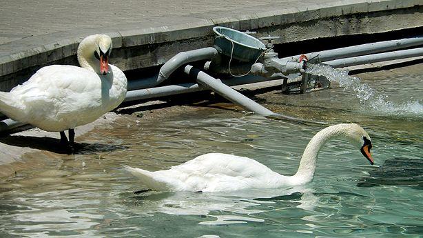 Swan, circular park.jpg