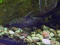 Synodontis ocellifer-aquarium.jpg