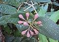Syzygium Munronii 12.JPG