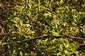 Syzygium caryophyllatum at Neeliyar Kottam 02.jpg