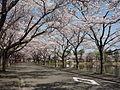 Takanosu Central Park Sakua.JPG