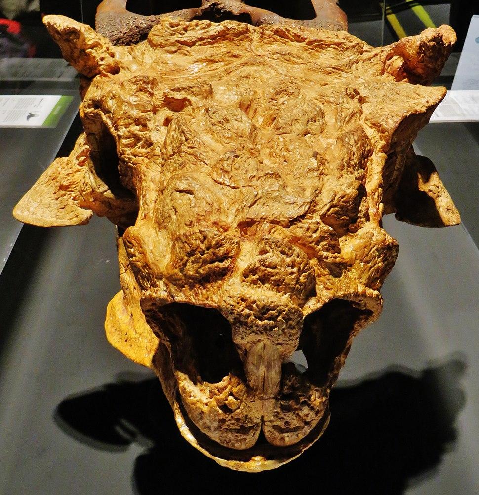 Tarchia gigantea skull front 4