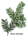 Taxus baccata twig.png