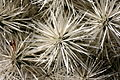 Teguise Guatiza - Jardin - Cylindropuntia tunicata 05 ies.jpg