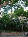 Tell argentat del passeig de la Bonanova P1510530.jpg