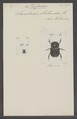 Tesserodon - Print - Iconographia Zoologica - Special Collections University of Amsterdam - UBAINV0274 019 05 0003.tif