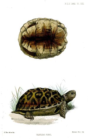 Joseph Smit - Northern tent tortoise illustration, 188