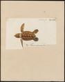 Testudo imbricata - 1700-1880 - Print - Iconographia Zoologica - Special Collections University of Amsterdam - UBA01 IZ11600201.tif
