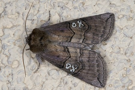 Tethea ocularis 01(js), Lodz(Poland).jpg