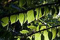 Tetracentron sinense - Feuilles et fleurs.jpg