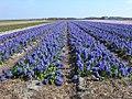 Texel - Pontweg - View ESE on field of Hyacinths II.jpg