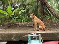 Thailand dog- thajský pes - panoramio.jpg