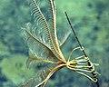 Thalassometridae sp.jpg