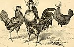 The American poulterer's companion. A practical treatise on the breeding, rearing, and general management of various species of domestic poultry (1856) (17974489019).jpg