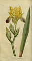 The Botanical Magazine, Plate 16 (Volume 1, 1787).png