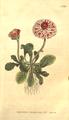 The Botanical Magazine, Plate 228 (Volume 7, 1794).png