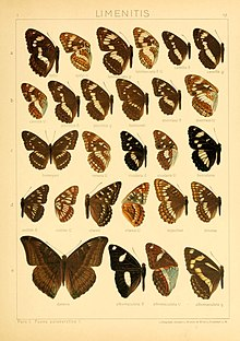 The Macrolepidoptera of the world (Taf. 57) (8145259279).jpg