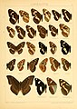 The Macrolepidoptera of the world (Taf. 57) (8145259279).jpg