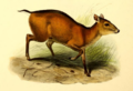 The book of antelopes (1894) Cephalophus dorsalis.png