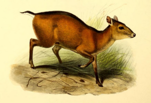 Bay duiker - An illustration of the bay duiker from The Book of Antelopes (1894) by Philip Sclater