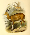The book of antelopes (1894) Tragelaphus decula.png