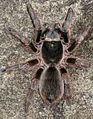 Theraphosidae, Nevis.jpg
