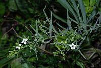 Thesium alpinum01