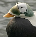 Threatened spectacled eider male (Somateria fischeri), Alaska SeaLife Center, Seward, Alaska (6750348221).jpg