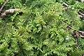 Thuidium tamariscinum (d, 144651-474740) 6079.jpg