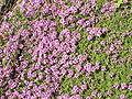 Thymus serpyllum coccineum0.jpg