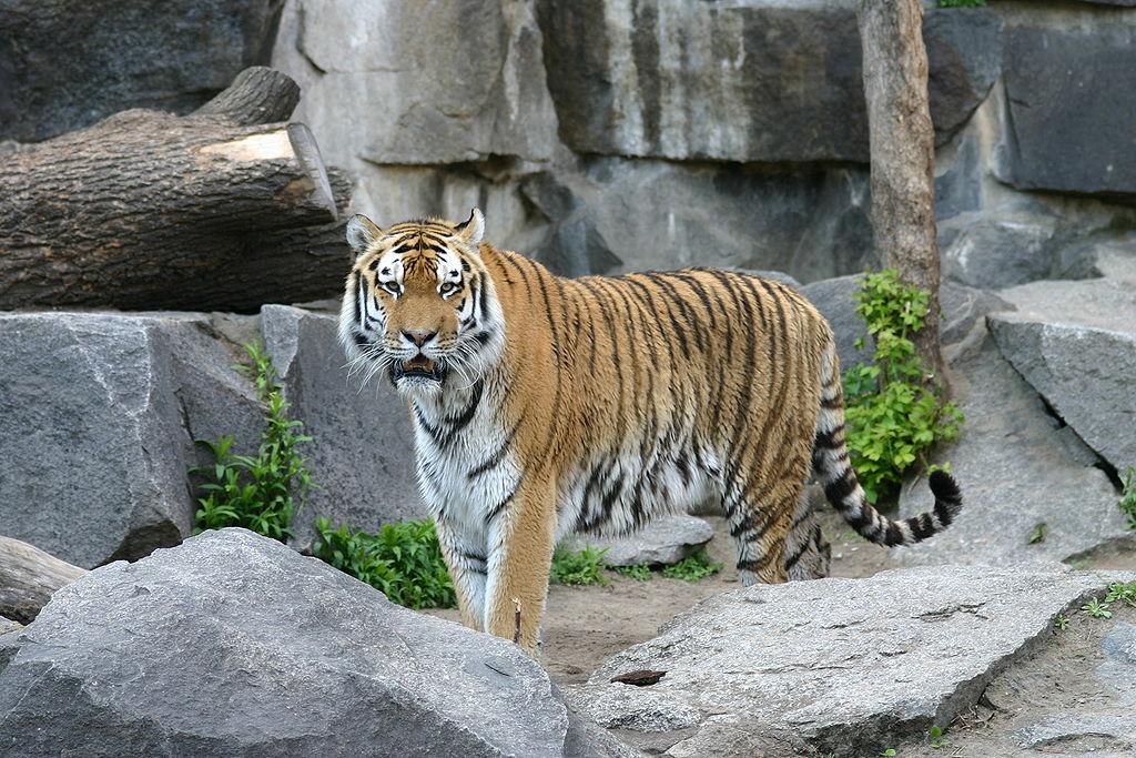 Tiger berlin-5.JPG