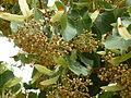 Tilia henryana-Jardin des Plantes 05.JPG