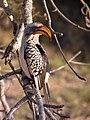 Tockus leucomelas -Kruger National Park, South Africa -in tree-8.jpg