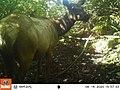 Tomales Point Water Sources- Wildlife Monitoring Camera- Tule Elk - August 14, 2020, 3-57 pm (9c004cdb-cfa1-45ac-abfb-3d3736b06624).jpg