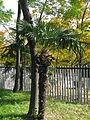 Trachycarpus fortunei5.jpg