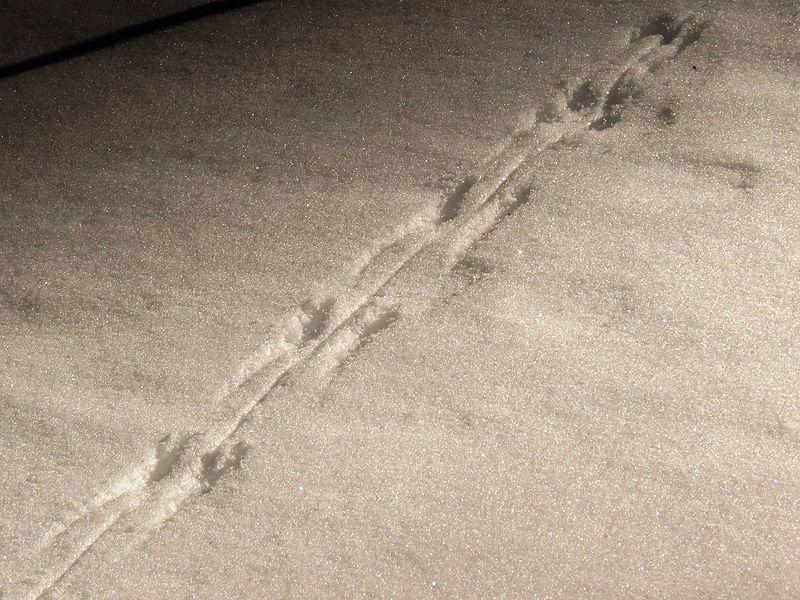 File:Tracks in the Snow - Flickr - treegrow (1).jpg