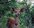 Tragelaphus angasii female.jpg