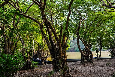 Tranquility of the Ratargul Swamp Forest.jpg