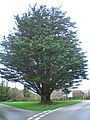 "Tree at the ""square"" in Tregongon - geograph.org.uk - 304135.jpg"