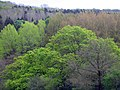 Trees coming into leaf - geograph.org.uk - 412567.jpg