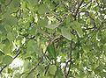 Triadica sebifera8.jpg
