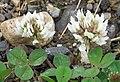 Trifolium repens RF.jpg