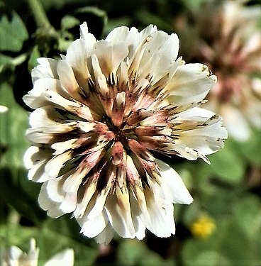 Trifolium repens flower close-up (1).jpg
