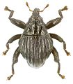 Trigonopterus costatus holotype - ZooKeys-280-001-g017.jpg