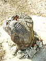 Trilobite - geograph.org.uk - 689476.jpg